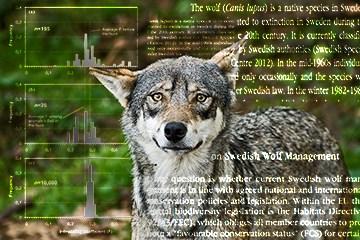 Ansvariga forskare ber Naturvårdsverket bortse från den beräkningsmodell för gynnsam bevarandestatus för varg som verket tidigare använt. Foto: Daniel Sanchez