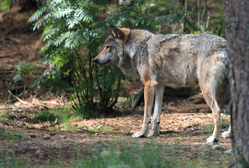 Undersökningen visar ett starkt stöd för att jaga varg, om syftet är att reglera populationen. Foto i hägn: Olle Olsson