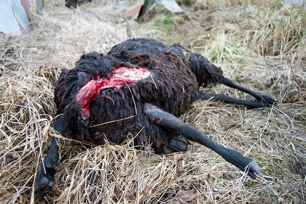 Vargdödat får. Foto: Olle Olsson