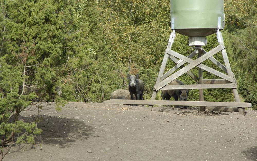 Länsstyrelsen i Halland anser att stödutfodring av vildsvin ger en lokal påverkan i landskapet som står stick i stäv med reservatets syfte att skydda och bevara flora och fauna, habitat och arter. Foto: Martin Källberg