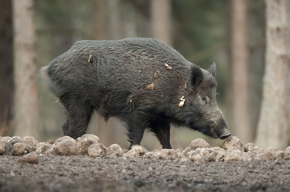LRF Sydost och Jägareförbundet Blekinge vill stoppa utfodring av vildsvin i Blekinge. Åtlingen har man dock inga synpunkter på. Foto: Mattias Lilja