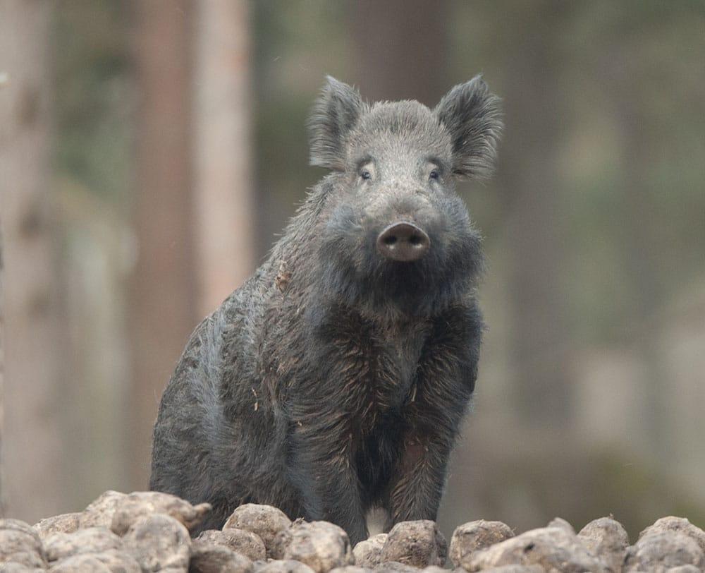 Jägareförbundet är generellt inte emot utfodring av vildsvin, förtydligar riksjaktvårdskonsulent Daniel Ligné. Foto: Mattias Lilja