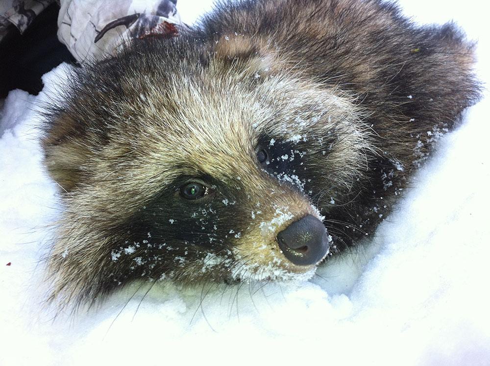 Vinterstammen av mårdhund i Sverige beräknas uppgå till mellan 100 och 130 djur. Foto: Mårdhundsprojektet