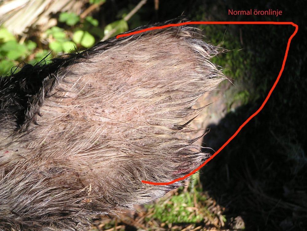 Öron på en älgkviga som fälldes i Främmestad hösten 2011. Foto: Privat