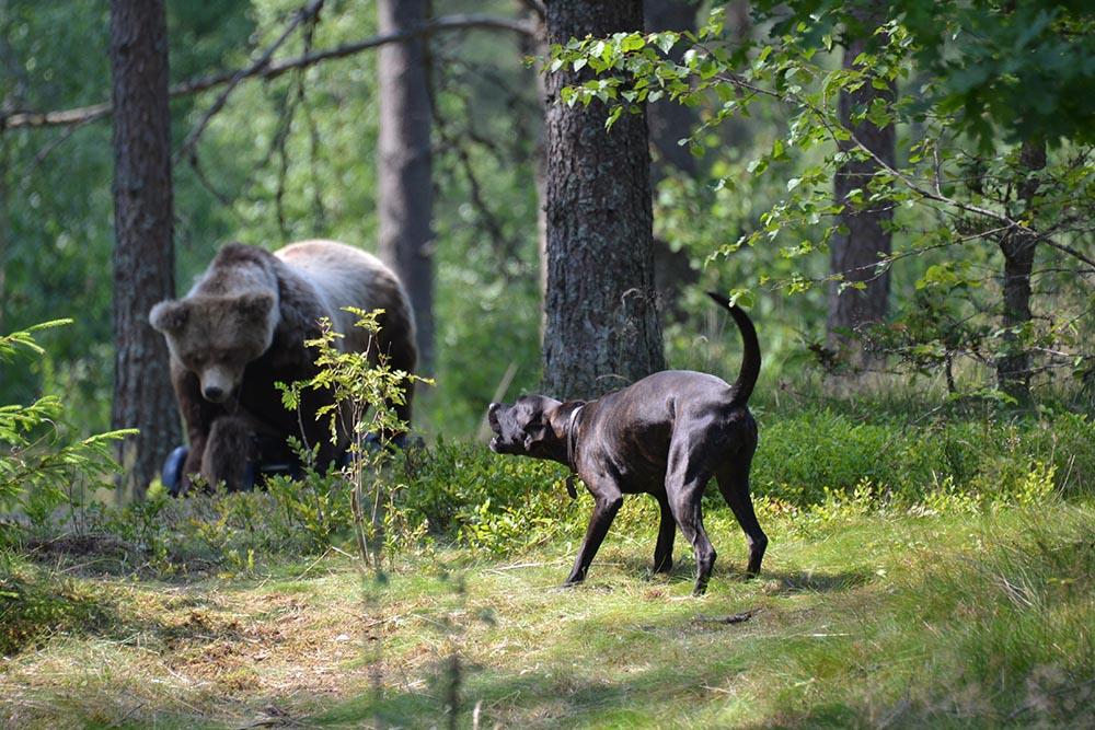 Bland  annat plotthundar ingår i den nybildade björnhundspoolen. Foto: Annette Petersson