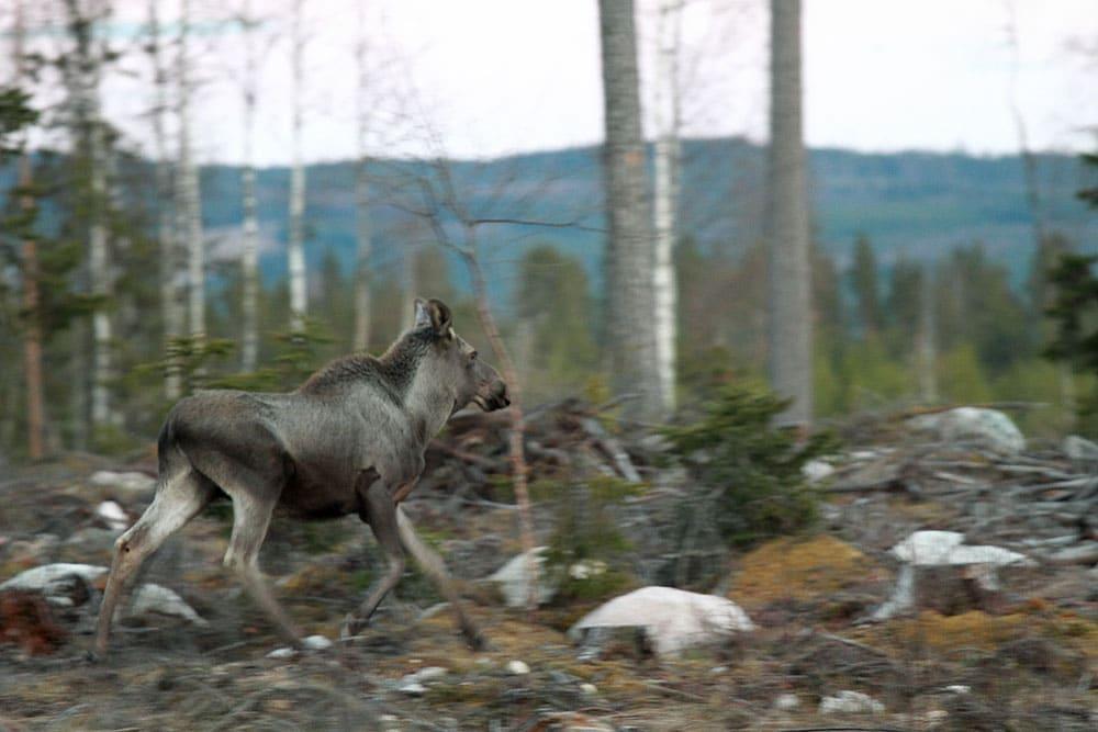 Jägare i norra Hälsingland reagerar starkt på de nya, hårda, riktlinjer för avskjutning som Holmen Skog AB satt upp. Foto: Olle Olsson