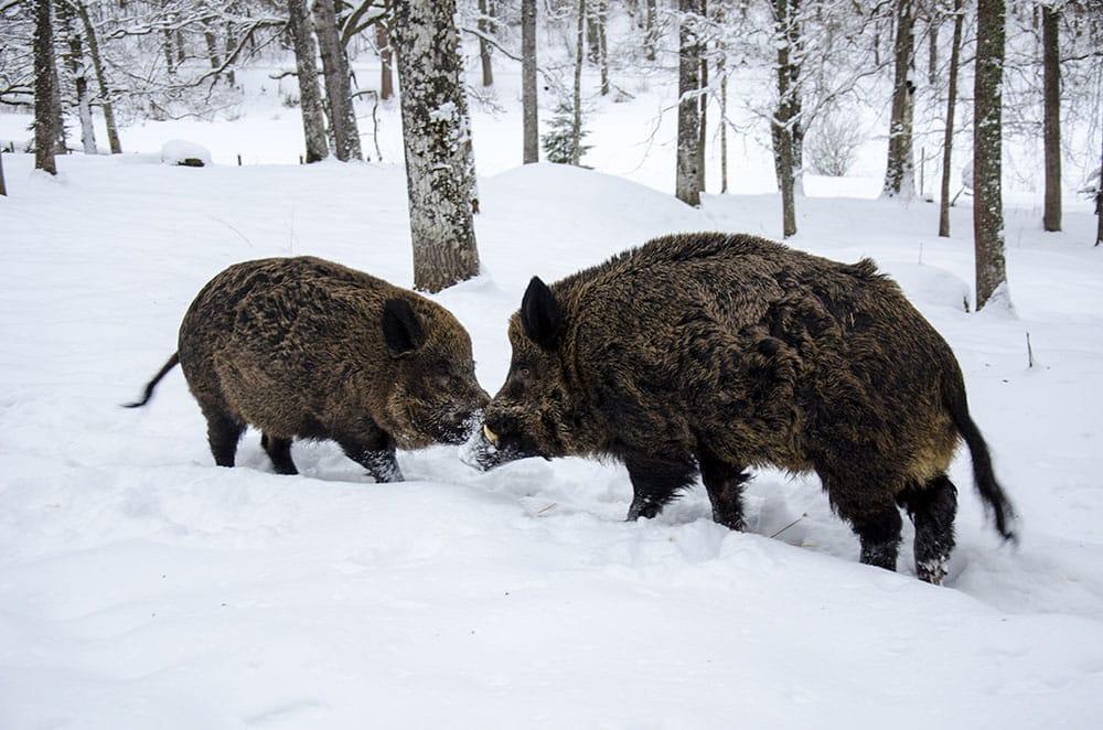 Länsstyrelsen på Gotland har beslutat att ett vildsvinshägn ska avvecklas. Foto (i hägn): Martin Källberg