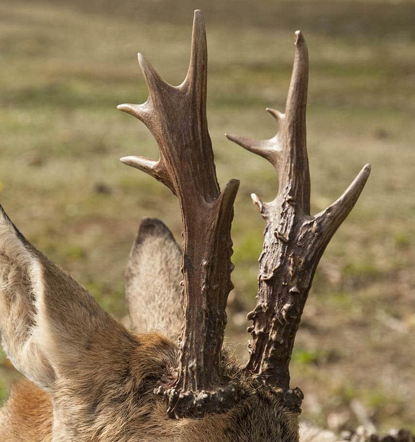 Pa jakt efter ett horn